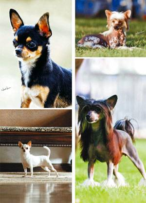 Chihuahuas do  Muchachitos Kennel e Crista Chinês do Canil Kemego
