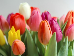 tulipa1